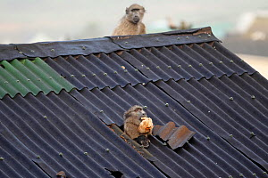 Chacma baboon (Papio ursinus) going through roof of house to steal bread, Cape Peninsula, South Africa.  -  Cyril Ruoso