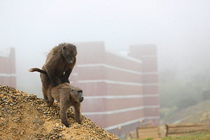 Chacma baboon (Papio ursinus) pair mating near city, Cape Peninsula, South Africa.  -  Cyril Ruoso
