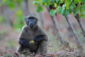 Chacma baboon (Papio ursinus) foraging in vineyard, Cape Peninsula, South Africa.  -  Cyril Ruoso