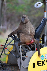 Chama baboon (Papio ursinus) female sitting in a digger, Cape Peninsula, South Africa.  -  Cyril Ruoso