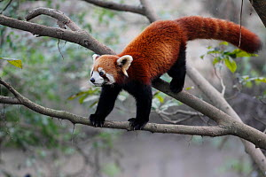 Lesser panda (Ailurus fulgens) captive, occurs in Chinua. - Cyril Ruoso