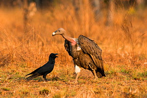 White-rumped Vulture (Gyps bengalensis) with large-billed Crow (Corvus macrorhynchos). Preah Vihear Protected Forest, Cambodia. Picture taken during filming for BBC 'Lands of the Monsoon' TV series.  -  Barrie Britton