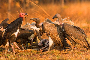 Red-headed vulture (Sarcogyps calvus) and Slender-billed vultures (Gyps tenuirostris) at cow carcass. Preah Vihear Protected Forest, Cambodia. Taken on location on location for BBC 'Lands of the Monso...  -  Barrie Britton