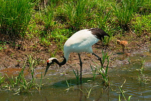 Red-crowned crane (Grus japonensis) adult and chick, Hokkaido, Japan  -  Barrie Britton