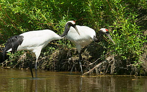 Red-crowned cranes (Grus japonensis) pair hunting for food, Hokkaido, Japan  -  Barrie Britton