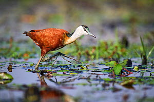 African Jacana (Actophilornis africana) searching for food on water. Swamps of Mabamba, lake Victoria, Uganda.  -  Eric Baccega