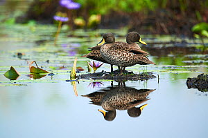 Yellow-billed duck (Anas undulata) pair in the swamps of Mabamba, lake Victoria, Uganda  -  Eric Baccega