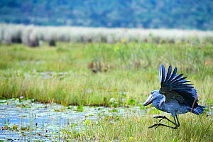 Shoebill stork (Balaeniceps rex) trying to catch a fish in the swamps of Mabamba, Lake Victoria, Uganda - Eric Baccega