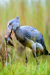 Shoebill stork (Balaeniceps rex) feeding on a Spotted African lungfish (Protopterus dolloi) in the swamps of Mabamba, lake Victoria, Uganda - Eric Baccega