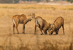 Nilgai or Blue bull (Boselaphus tragocamelus), young males play fighting. Tal Chhapar Wildlife Sanctuary, Rajasthan, India  -  Yashpal Rathore