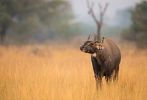 Nilgai or Blue bull (Boselaphus tragocamelus), male. Tal Chhapar Wildlife Sanctuary, Rajasthan, India  -  Yashpal Rathore
