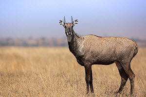 Nilgai or Blue bull (Boselaphus tragocamelus), profile of male. Tal Chhapar Wildlife Sanctuary, Rajasthan, India  -  Yashpal Rathore