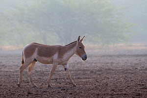 Indian wild ass (Equus hemionus khur), lone stallion walking, Little Rann of Kutch, Gujarat, India - Yashpal Rathore