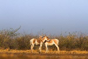 Indian wild ass (Equus hemionus khur), pair grooming each other, Little Rann of Kutch, Gujarat, India - Yashpal Rathore