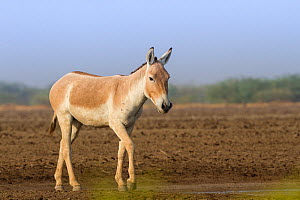 Indian wild ass (Equus hemionus khur), lone stallion standing, Little Rann of Kutch, Gujarat, India - Yashpal Rathore