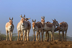 Indian wild ass (Equus hemionus khur), group standing together, Little Rann of Kutch, Gujarat, India - Yashpal Rathore