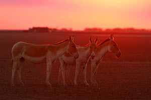 Indian wild ass (Equus hemionus khur), backlit at sunset, Little Rann of Kutch, Gujarat, India - Yashpal Rathore