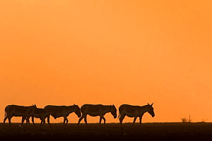 Indian wild ass (Equus hemionus khur), herd walking at sunset, Little Rann of Kutch, Gujarat, India - Yashpal Rathore