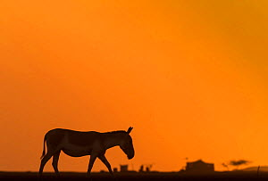 Indian wild ass (Equus hemionus khur), walking at sunset, Little Rann of Kutch, Gujarat, India - Yashpal Rathore