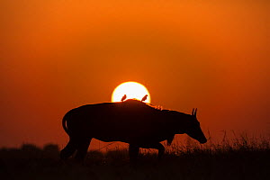 Nilgai / Blue bull (Boselaphus tragocamelus), silhouette of male at sunset, with  Black drongo on its back. Velavadar National Park, Gujarat, India  -  Yashpal Rathore