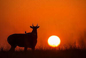 Nilgai or Blue bull (Boselaphus tragocamelus), silhouette of male at sunset, with  Black drongo bird on its back. Velavadar National Park, Gujarat, India  -  Yashpal Rathore