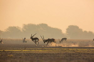 Blackbuck (Antelope cervicapra) male chasing another male from the lekking area. Tal Chhapar Wildlife Sanctuary, Rajasthan, India  -  Yashpal Rathore