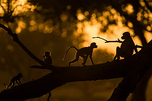 Yellow baboons (Papio cynocephalus) playing at sunset. South Luangwa NP, Zambia.  -  Luke Massey