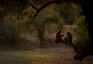 Pair of Yellow baboons (Papio cynocephalus) groom their youngsters. South Luangwa NP, Zambia.  -  Luke Massey