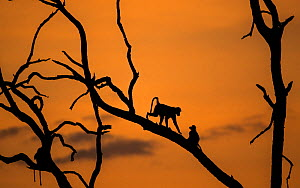 Yellow baboons (Papio cynocephalus) silhouetted at sunset. South Luangwa NP, Zambia.  -  Luke Massey