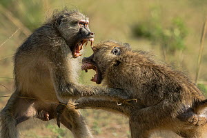 Yellow baboons (Papio cynocephalus) two males fighting, South Luangwa NP, Zambia  -  Luke Massey