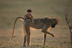 Yellow baboon (Papio cynocephalus) infant riding on its mothers back. South Luangwa NP, Zambia.  -  Luke Massey
