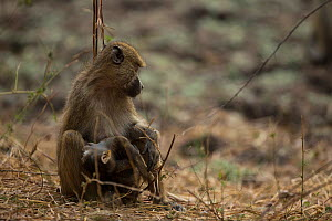 Yellow baboon (Papio cynocephalus)  holds her dead youngster. South Luangwa NP, Zambia.  -  Luke Massey
