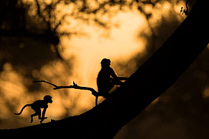 Yellow baboons (Papio cynocephalus) juvenile silhouetted while playing at sunset,  South Luangwa NP, Zambia.  -  Luke Massey