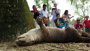 Smooth coated otter (Lutrogale perspicillate) watched by tourists, Singapore. November. - Luke Massey