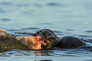 Smooth coated otters (Lutrogale perspicillate) feeding in water, Singapore. November. - Luke Massey