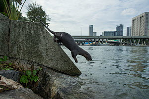 Smooth coated otter (Lutrogale perspicillate) jumping into water, Singapore. November. - Luke Massey