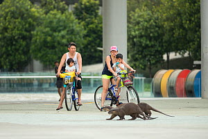 Cyclists watching urban Smooth coated otters (Lutrogale perspicillate) cross their path, Singapore. November. - Luke Massey