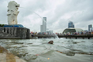 Smooth coated otters (Lutrogale perspicillate) in urban Singapore. November. - Luke Massey