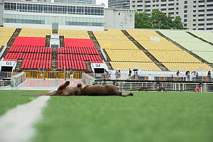 Smooth coated otters (Lutrogale perspicillate) playing in sports grounds, Singapore. November. - Luke Massey