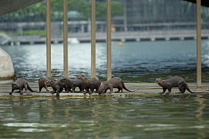 Smooth coated otter (Lutrogale perspicillate) in urban environment,  Singapore. November. - Luke Massey