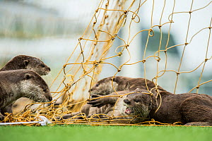 Smooth coated otter (Lutrogale perspicillate) playing with football net, Singapore. November. - Luke Massey