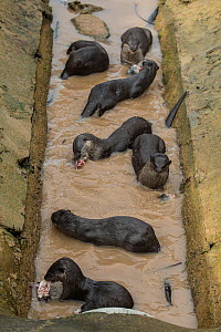 Smooth coated otter (Lutrogale perspicillate) in drainage channel, Singapore. November. - Luke Massey