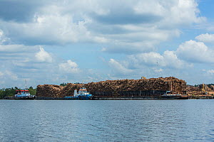 Acacia logs being transported, Balikpapan, Indonesia  -  Luke Massey