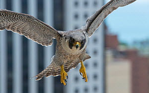 Female peregrine falcon (Falco peregrinus) returns to balcony nest site, Chicago, USA, June 2015,  -  Luke Massey