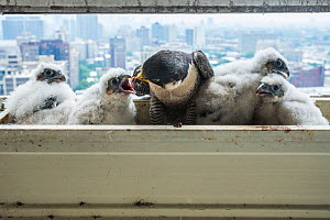 Peregrine falcon (Falco peregrinus) female feeding chicks at nest on balcony, Chicago, USA  -  Luke Massey