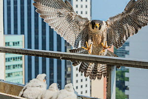 Peregrine falcon (Falco peregrinus) returns to nest in balcony, Chicago, USA  -  Luke Massey