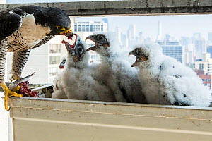 Peregrine falcon (Falco peregrinus) female feeding chicks at nest in balcony, Chicago, USA  -  Luke Massey