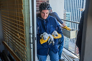 Scientists ringing Peregrine falcon (Falco peregrinus) chicks, Chicago, USA  -  Luke Massey