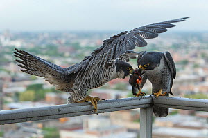 Peregrine falco (Falco peregrinus) male giving female food, Chicago, USA  -  Luke Massey