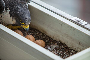 Peregrine falcon (Falco peregrinus) female with eggs, in nest in planter on balcony, Chicago, USA  -  Luke Massey